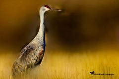 A MOMENT IN TIME ... (Aspenbreeze) Tags: sandhillcrane wildbird crane cranes sanhilcranewild bird animal wildlife coloradobirds coloradowildlife nature rural migratoryflightpath bevzuerlein aspenbreeze moonandbackphotography coth5