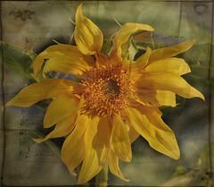 Listen To The Music Of The Flowers.... (Wire_cat) Tags: flower plant yellow jerusalemartichoke texturedimage manipulatedimage musictexture photoshop nikond40 wirecat