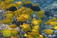 yellow tang: Zebrasoma flavescens (kris.bruland) Tags: yellowtangzebrasomaflavescens acanthuridae zebrasomaflavescens twostep yellowtang tang surgeonfish lauipala honaunau puuhonuaohonaunaunationalhistoricalpark placeofrefuge cityofrefuge southkona captaincook kealakekuabay kona westhawaii hawaiicounty bigisland coral hawaii hawaiian creature reef pacific ocean scuba sea snorkel underwater snorkeling tropical dive diver diving ecology ecosystem environment environmental fish krisbruland ichthyology ichthyologist island islands marine nature organism outdoor saltwater science undersea vertebrate water zoology life sandwich animal aquatic biology