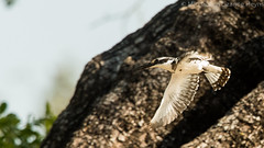 Pied Kingfisher (michael heyns) Tags: birds zimbabwe piedkingfisher kingfishers voels bontvisvanger manapoele zim2015