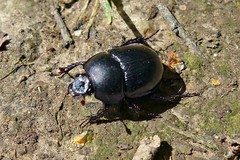 ein eiliger Kfer (mama knipst!) Tags: summer bug sommer natur kfer