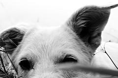 Mia (immaginaitalia) Tags: bw italy dog white lake black cane lago italia bn occhi sguardo piemonte mia di bianco piedmont nero valleys muso valli lanzo usseglio malciaussia