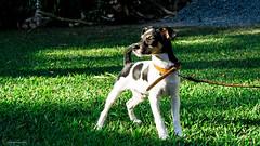 [Karadoc, Brazilian Terrier] (bgarkauskas) Tags: dog puppy flickr sony cachorro f3 filhote nex foxpaulistinha 1855mmf3556 brazilianterrier karadoc terrierbrasileiro bgarkauskas