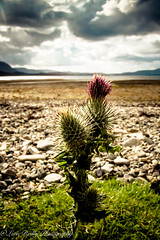 Flower of Scotland (broadswordcallingdannyboy) Tags: holiday scotland highlands thistle scottish loch canoneos torridon westhighlands flowerofscotland lochtorridon canonlens scottishlandscape highlandthistle scottishscenery scottishsummer scottishloch northwesthighlands scottishscenes leonreilly eos7d lightroom4 leonreillyphotography copyrightleonreillyphotography