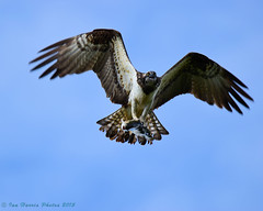 Osprey (ian._harris) Tags: digital osprey
