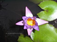 RIMG0079 (singaporeplantslover) Tags: nymphaea   lotus