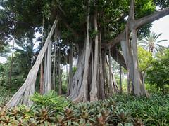 Ficus Macrophylla (Julian Chilvers) Tags: spain fig ficus tenerife botanicgarden moretonbayfig ficusmacrophylla purtodelacruz