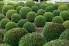 Boxwood  - Green garden balls in France, (MODELLEUS2) Tags: park autumn plant france color detail tree green castle nature beautiful ball cutout garden outdoors spring bush topiary europe pattern natural box background space decoration formal front row full foliage evergreen sphere valley hedge round remote growing shrub shape botany ornamental loire amboise villandry feature perennial boxwood landscaped touraine
