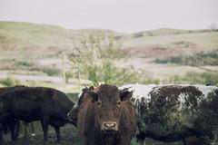 (-ASD-) Tags: color green nature cow natural farm grain