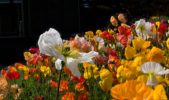 """Poppy Delight • <a style=""""font-size:0.8em;"""" href=""""http://www.flickr.com/photos/7605906@N04/21888078032/"""" target=""""_blank"""">View on Flickr</a>"""