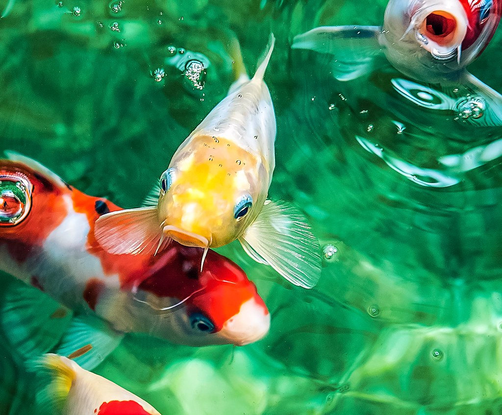 The world 39 s best photos of fish and koipond flickr hive mind for Blue and orange koi fish