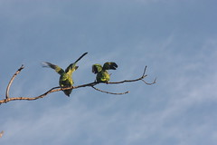 cielo azul y dos amigables visitantes (MandoBarista) Tags: blue sky canon view feathers free parrot mexican enjoy loros atumnalis