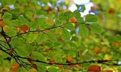 Bright (Wildlife Online) Tags: autumn color colour season newforest beech landscapephotography autumncolour treecolour beechleaf lightthroughleaves britishlandscape britishautumn colourfultree colourfulleaf newforestautumn marcbaldwin wildlifeonline autumn2015 colourchangeleaves autumnalbeechleaves
