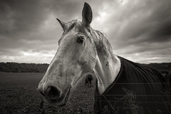 Why the long face? (Claire Willans) Tags: horses blackandwhite horse monochrome animal animals clouds dark grey mono moody cloudy equestrian whitehorse greysky