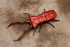 Cyclommatus metallifer - Satoshi Kamiya (P. Colman) Tags: paper insect origami beetle