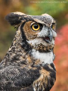 Great Horned Owl (PB070053)