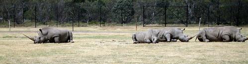 Rhino at Werribee zoo