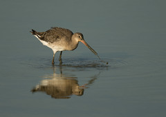 Black-tailed Godwit (Markp33) Tags:
