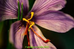 (giordano torretta alias giokappadue) Tags: color macro fiore correction zafferano spezia ritoccate