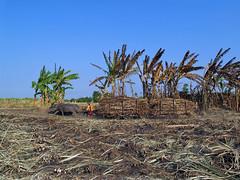 Bubalus bubalis (Petr Patoka) Tags: waterbuffalo sugarmill bubalusbubalis wringinanom