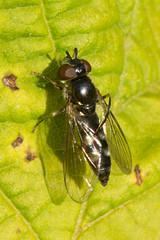 Hoverfly- Platycheirus albimanus (linanjohn) Tags: uk macro nature wildlife lakedistrict insects cumbria flies syrphidae diptera borrowdale hoverflies syrphinae bacchini platycheirusalbimanus