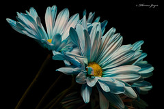 Energenic 1003 Copyrighted (Tjerger) Tags: nature black blackbackground bloom blue bunch closeup daisies daisy fall flora floral flower group macro petals plant portrait stems white wisconsin yellow energenic natural