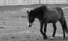 Horse, Danada Forest Preserve. 10 (EOS) (Mega-Magpie) Tags: canon eos 60d nature outdoors horse equine danada forest preserve wheaton il illinois usa america dupage fence mono monochrome bw black white animal