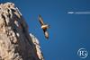 """""""Planeur contre moteurs."""" Gypaète barbu - Massif du Bargy, Haute-Savoie. (Raphaël Grinevald • Photographe) Tags: raphaelgrinevald reflex rhônealpes nikon rapace d800 150600 sigma contemporary gypaète barbu gypaetus barbatus lammergeier bartgeier bargy massif montagne savoie haute bearded vulture vautour caparrouy alpes alpinisme altore hiking wildlife wild nature aviation avion plane aircraft civil planeur gliding france french"""