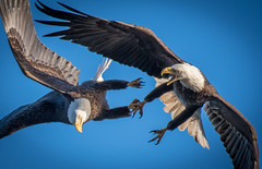 Eagles locked talons (Vic Zigmont) Tags: wildlife birds eagles eagleslockedtalons eaglesfighting birdinflight
