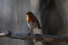 And so this is winter... (carlo612001) Tags: robin birds bird