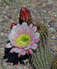 Echinopsis grandiflorus hybrid (l.e.violett) Tags: cactus flower cultivated echinopsis grandiflorus hybrid pse