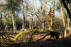 Sutton Park - Holly Hurst (tim ellis) Tags: suttonpark park hollyhurst tree broken split suttoncoldfield uk
