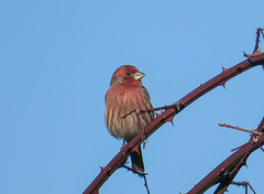 House finch - bit fluffed up to weather cold east wind (Wayne~Chadwick) Tags: