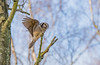 Northern Hawk Owl, Hökuggla, Surnia ulula (dunderdan77) Tags: owl hawk fågel bird animal djur nikon tamron wildlife uggla sweden sverige northern hök