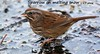 WBY7654-17 7D2-100 Sparrow sings wintry song (wbyoungphotos) Tags: sparrow happy singing dancing jumping bird animal outdoor song snow melting