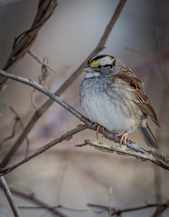 White-throated Sparrow (Zonotrichia albicollis) (anthonyvanschoor) Tags: yearly progress shot blandair northside columbia maryland whitethroated sparrow zonotrichia albicollis nikon d7100