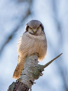 Northern Hawk Owl, Hkuggla, Surnia ulula