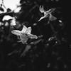 dalliance (Super G) Tags: nikon298 bw blackandwhite flower rain dew sandiego california drops