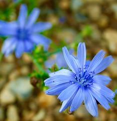 It's Alive! HMM (NJKent) Tags: saveearth cleymarshes macromondays itsalive flower blue norfolkwildlifetrust cleynaturereserve norfolk uk