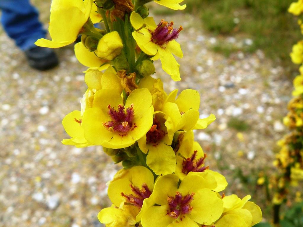 Verbascum nigrum-2