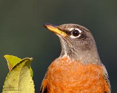 American Robin (Steve Zamek) Tags: american robin toyon