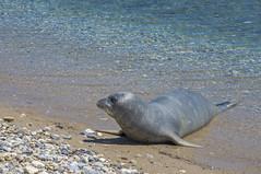 Argiro (rluethi) Tags: animals samos travel tier mönchsrobbe monkseal