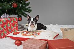 Jolamyndataka hundafimi_2016_121 (Stefán H. Kristinsson) Tags: jolamyndataka christmas christmassession hundur hundar hundafimideild nikond800 tamron2875mm jólamyndataka hrfí