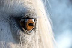Horse eye (cuppyuppycake) Tags: horse pupil eye closeup nature white macro nikon d7200 london
