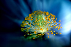 Poppy Fireworks (Sweedon~) Tags: poppy blue flower stamen light bokehsmoothsilky creativeartphotography