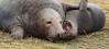 MATING OVER BY Angela Wilson (angelawilson2222) Tags: grey seals mating donna nook wildlife trust lincolnshire mammals animals creatures wild nature sealife angela wilson nikon