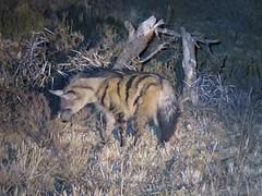An Aardwolf in Mountain Zebra National Park (benyeuda) Tags: protelescristata mammal wildlife nightsafari safari mammalwatching rareanimal mountainzebra mountainzebranationalpark nationalpark southafrica africa