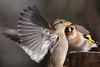 perspective (rachel.peillet) Tags: oiseau chardonneret animaux moineaudomestique oiseaux europeangoldfinch housesparrow bird
