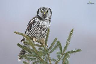 Chouette épervière - Northern hawk-owl - Surnia ulula