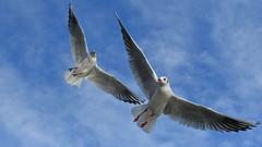Paarflug (karinrogmann) Tags: möwen gabbiani seagulls paar flug coppiainvolo coupleinflight nikonzoom70300mm